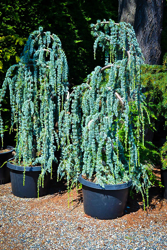 Weeping Blue Atlas Cedar Trees For Sale Online The Tree