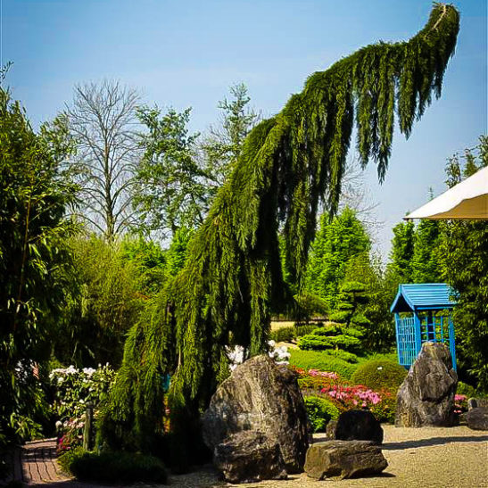 Weeping Giant Sequoia Trees For Sale Online The Tree Center