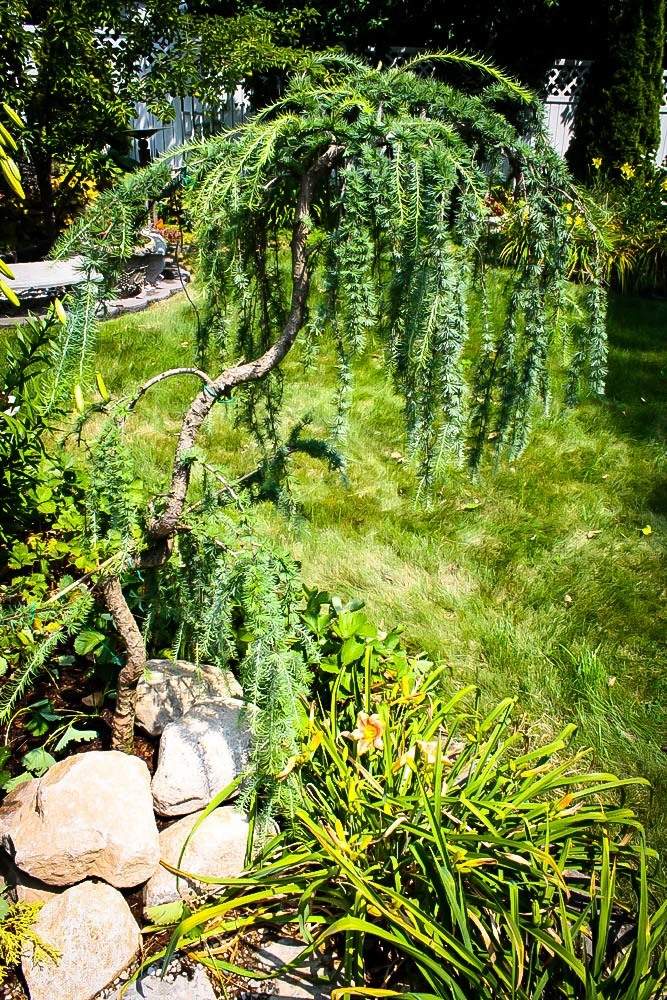 Weeping Larch For Sale Online The Tree Center