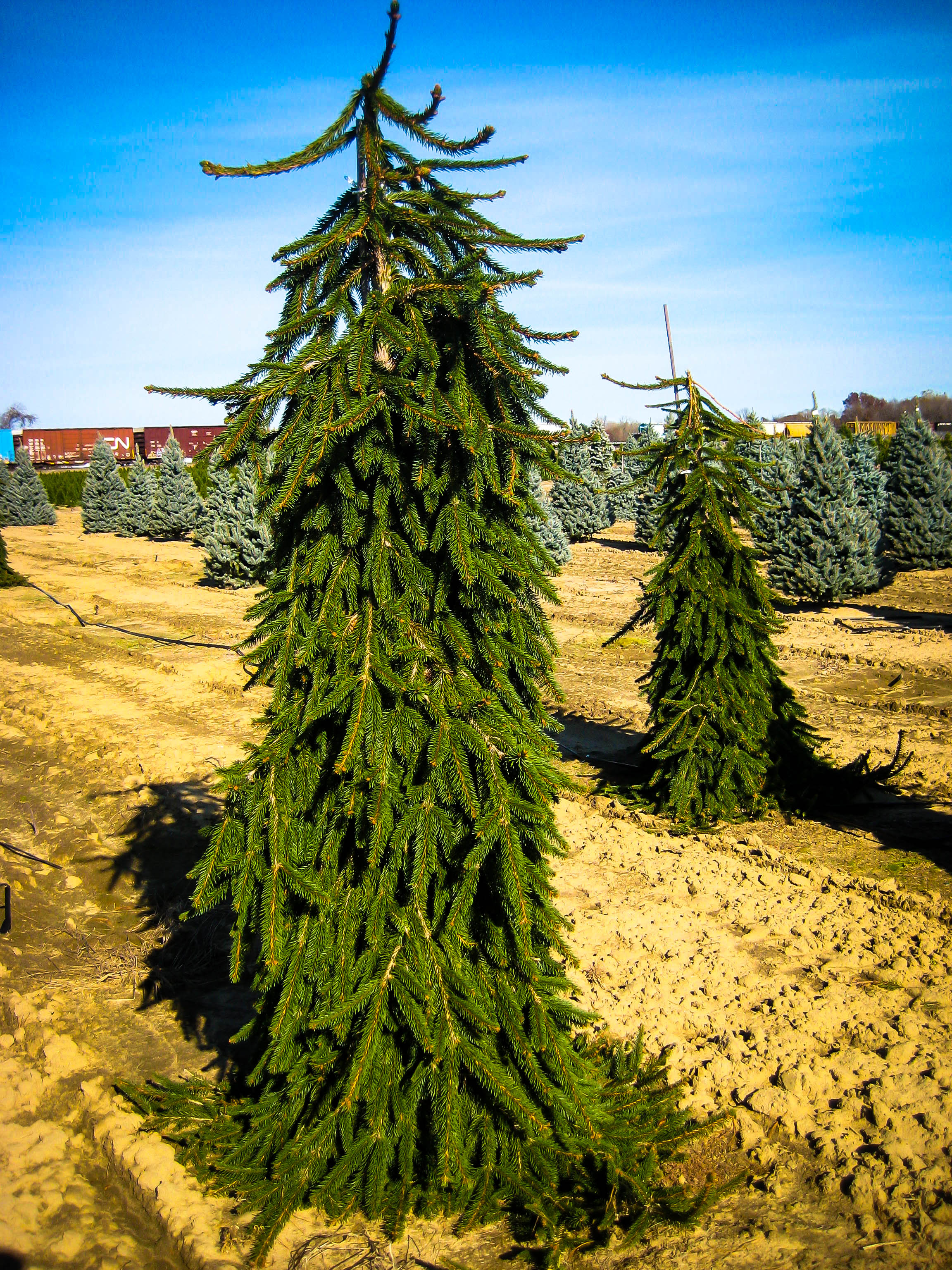 Weeping Norway Spruce For Sale Online | The Tree Center