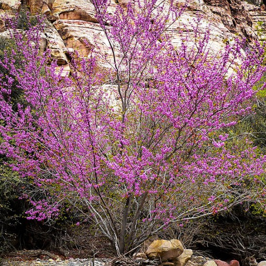 The Rising Sun Redbud for Sale m Oklahoma redbud tree pictures