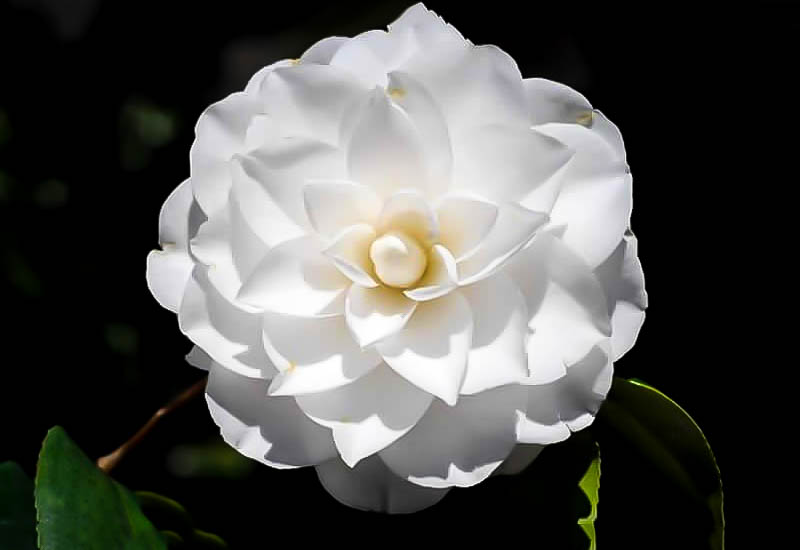 White by the gate camellia the tree center plant hardiness zones 7 9 mightylinksfo