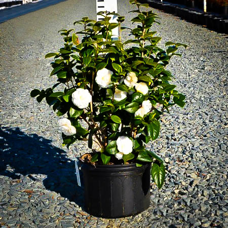 White by the gate camellia the tree center - Camellia japonica en pot ...