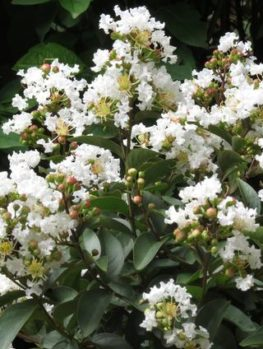 Enduring Summer White Crape Myrtle Shrub