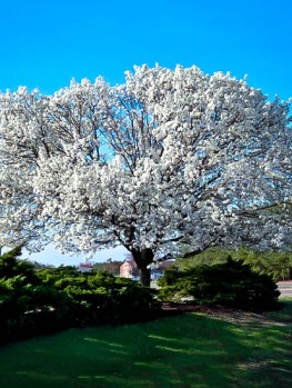 Doves For Sale >> Cloud 9 Dogwood Tree For Sale Online | The Tree Center™