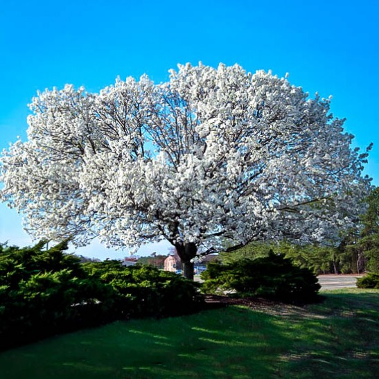 White Dogwood For Sale Online The Tree Center
