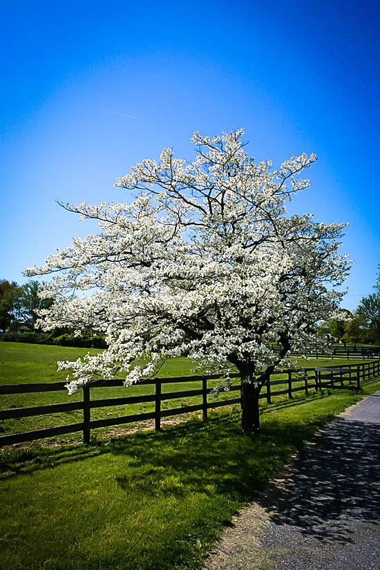 White Dogwood Tree Flower On Farm