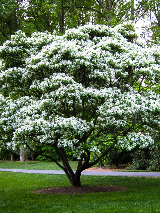 Flowering trees best flowering trees to buy the tree center other flowering trees mightylinksfo