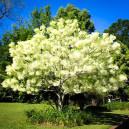 white-fringe-tree-2