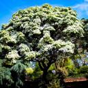 white-fringe-tree-3