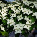 White Kousa Dogwood Tree Flowers
