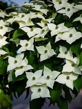 Dogwood tree facts everything you need to know white kousa dogwood mightylinksfo
