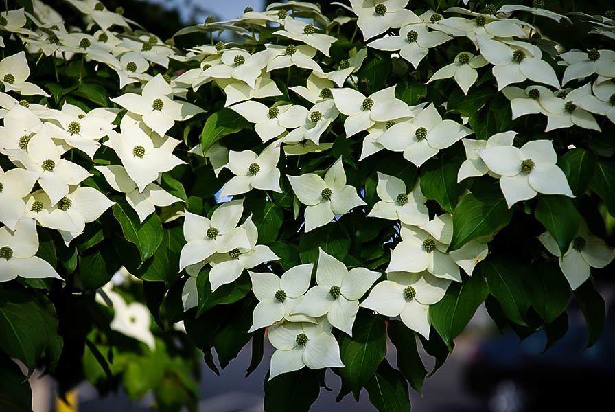 Kousa dogwood tree the tree center white kousa dogwood tree flowers mightylinksfo