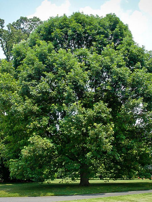 Instant Shade Trees : Small canopy trees for a garden this species