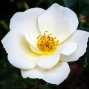 A Whiteout Rose Flower