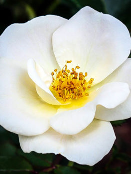 White Out Rose