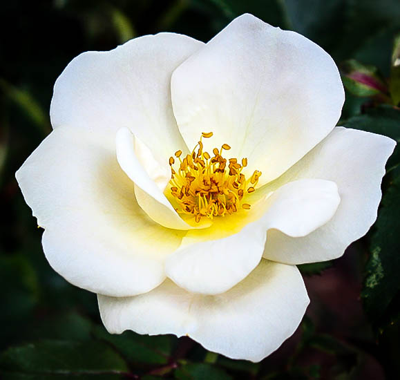 White out rose for sale the tree center a whiteout rose flower mightylinksfo