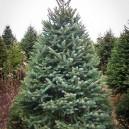 white-spruce-2