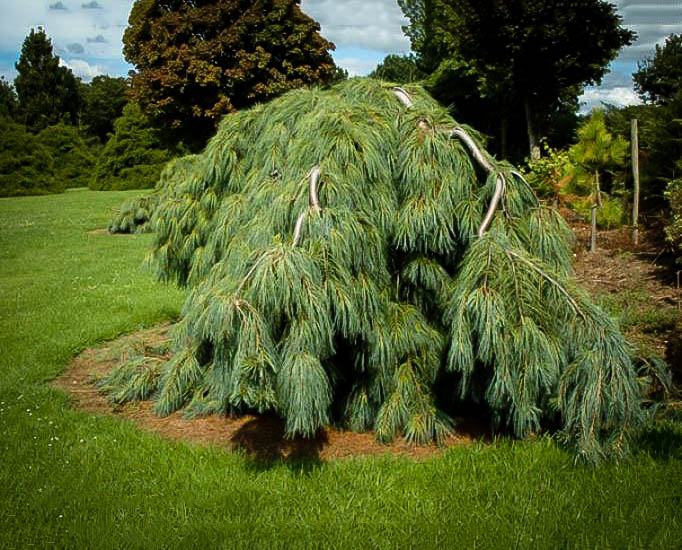 White Weeping Pine The Tree Center