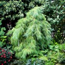 white-weeping-pine-2