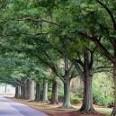 Willow Oak Trees