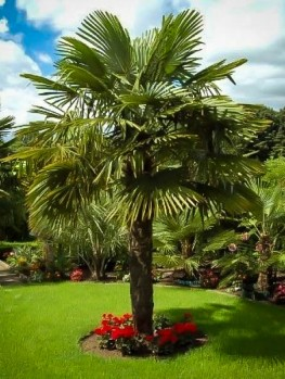 King Sago Palm Tree For Sale Online The Tree Center
