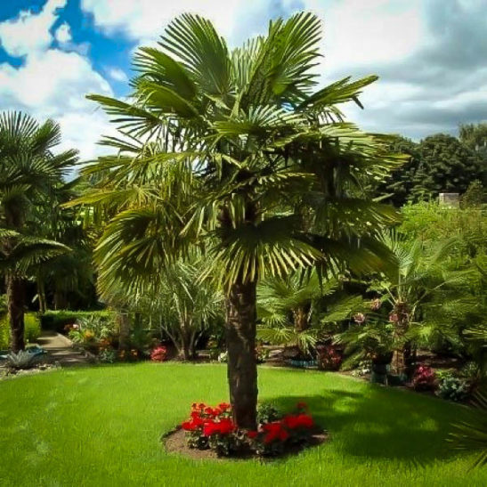 Windmill Palm For Sale The Tree Center
