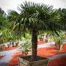 Windmill Palm Tree