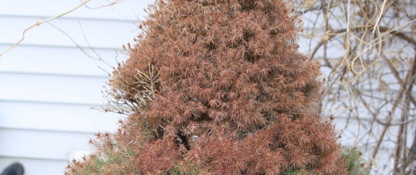 Tips on Protecting Your Evergreens for Winter