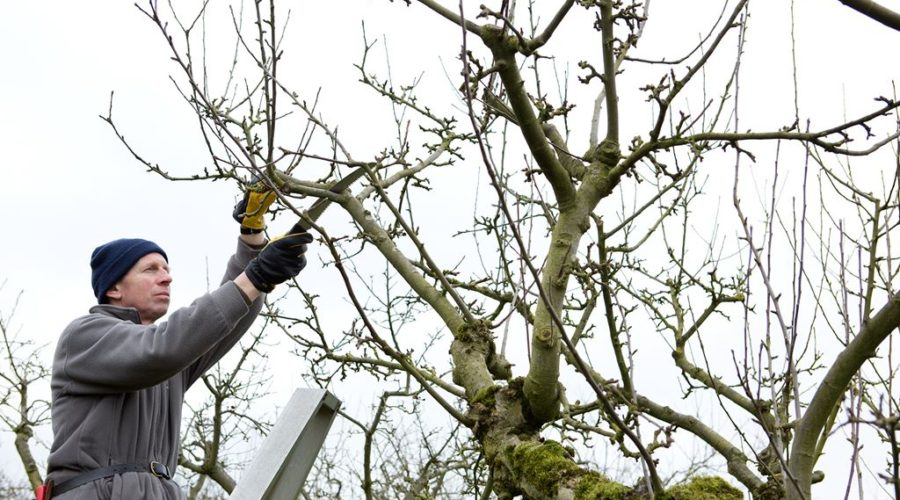 Useful Tips for Pruning Fruit Trees
