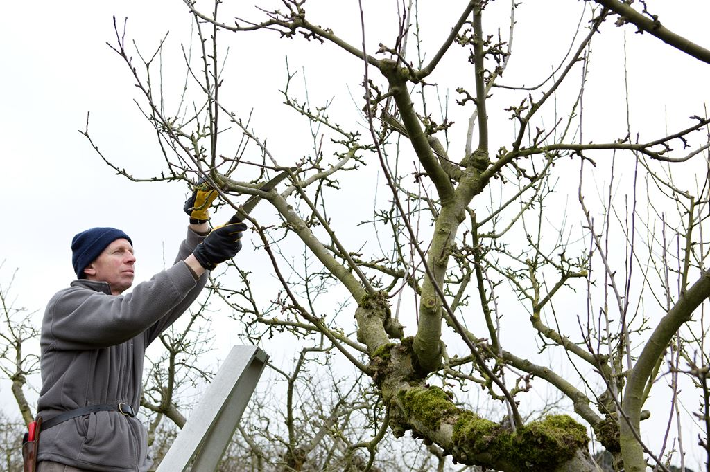 pruning fruit trees for dummies