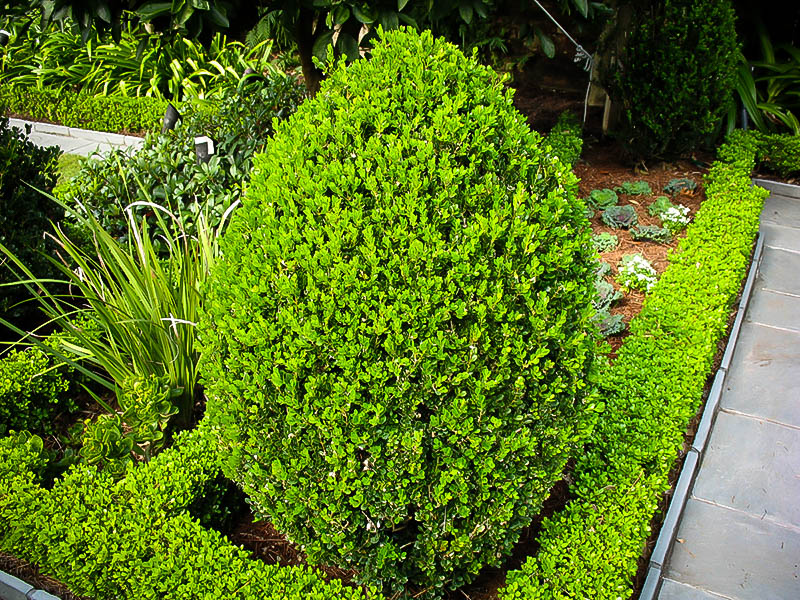 Wintergreen Boxwood For Sale The Tree Center