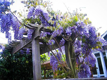 Buy Wisteria Vines Online Shop Wisteria Vines The Tree