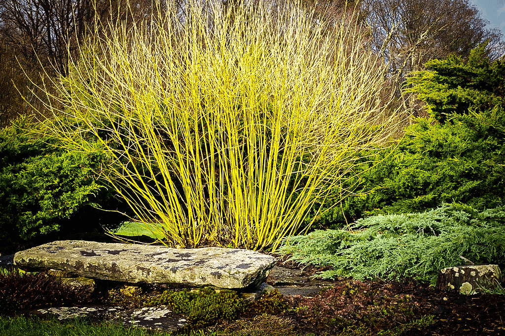 yellow twig dogwood the tree center�