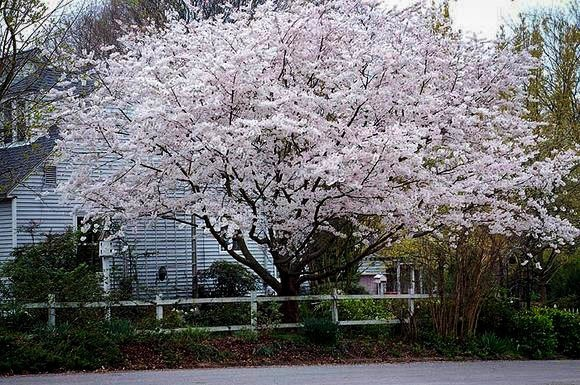 Yoshino Cherry Tree In Front Yard The Blossom Is Hardy