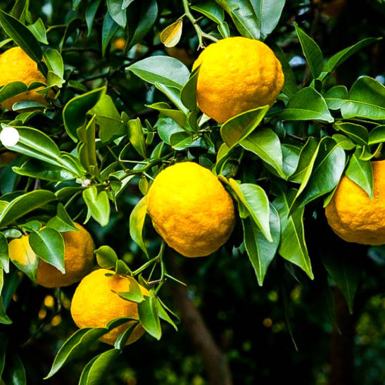 Yuzo Citron Trees For Sale Online The Tree Center