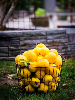 Yuzu Citron Tree