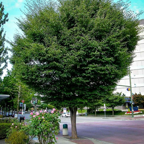 Buy Zelkova Trees Online The Tree Center