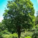 zelkova-tree-2