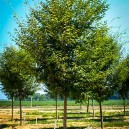 Young Green Vase Zelkova Tree