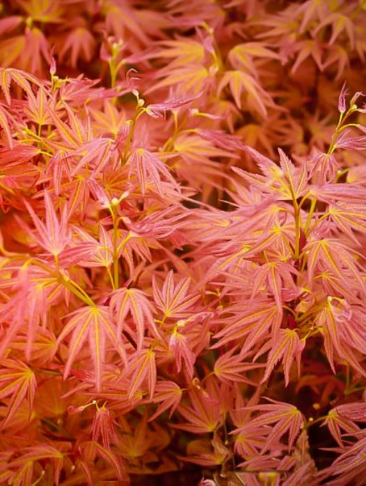 Bonfire Japanese Maple