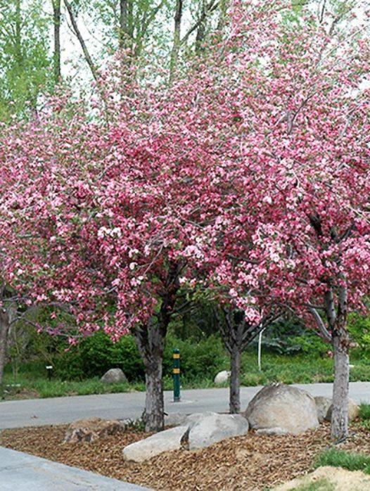 Brandywine™ Crabapple Tree