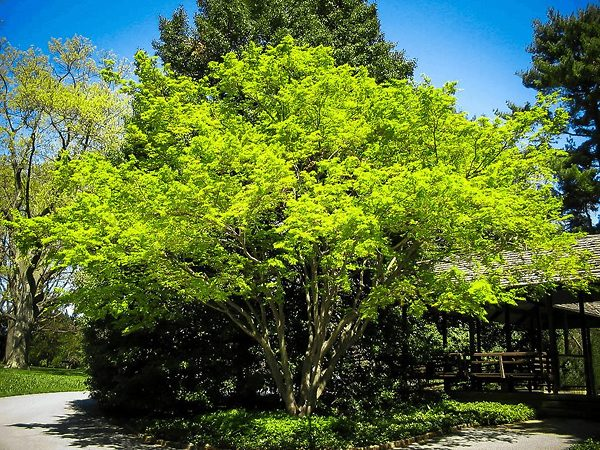 Large and mature Coral Bark Japanese Maple tree.