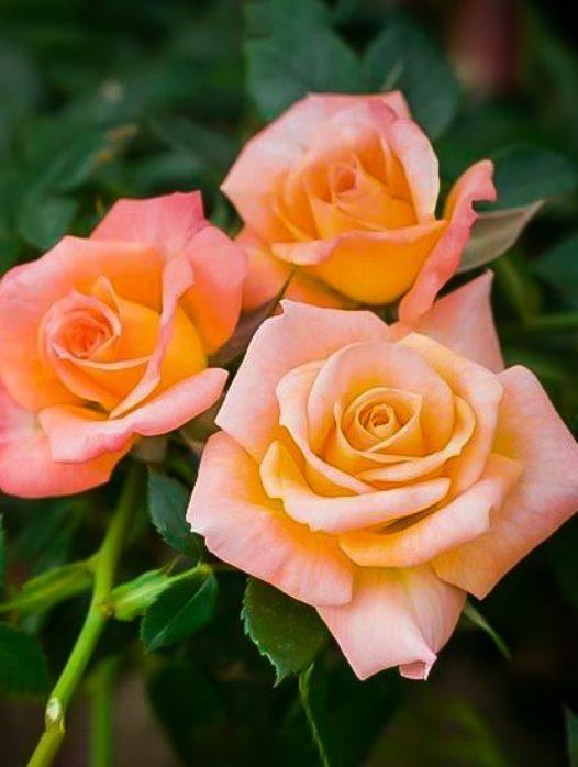 Cutie Pie™ Miniature Rose Tree