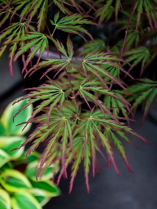 Jeddeloh Orange Japanese Maple