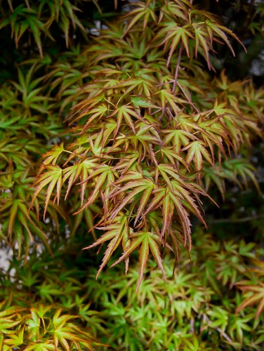 Kamagata Japanese Maple