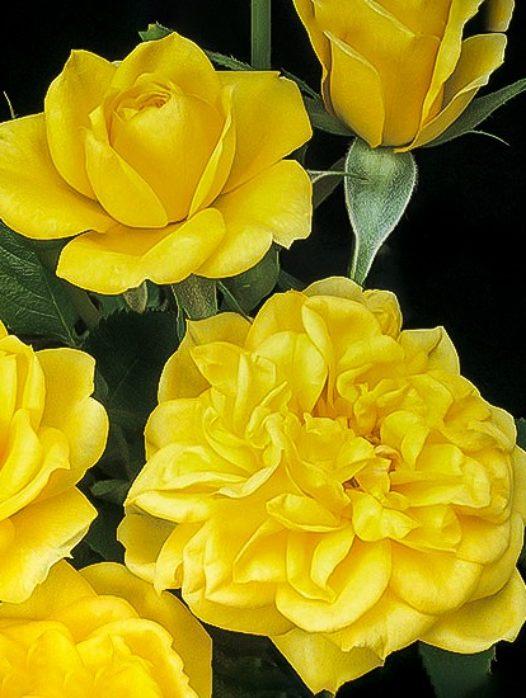 Lemon Drop Miniature Rose Tree