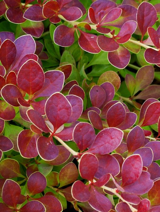 Red Carpet Barberry