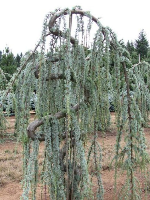 Serpentine Blue Atlas Cedar