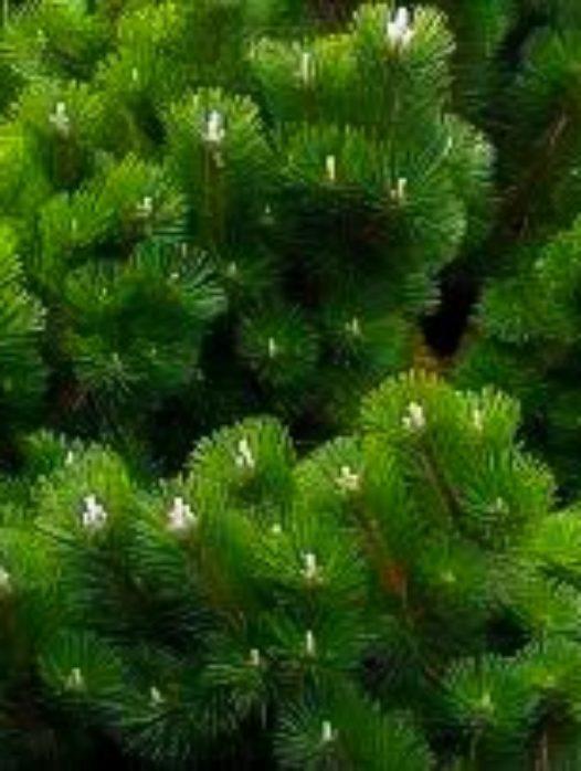 Thunderhead Pine